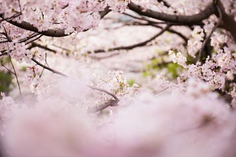 この日一番のお気に入りは,千鳥ヶ淵じゃなくて,国立劇場前の桜でした。