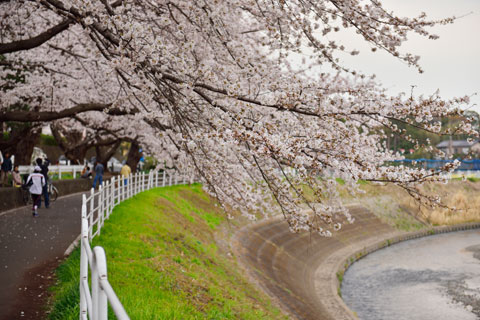 いい感じの桜トンネルです(^^)