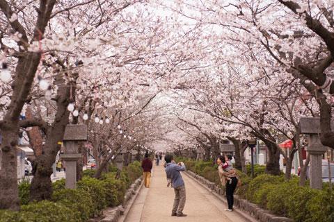 鶴岡八幡宮前,段葛の桜です 【フォトアルバムはこちら~♪】