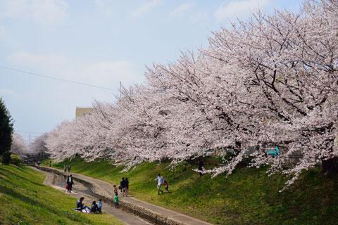 こ~んなに綺麗な桜並木なのに,人出が少ない! 【フォトアルバムはこちら~♪】