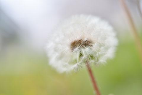 タンポポに限らず,花は真横・下から撮るといい感じになることが多いです(^^)