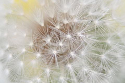 この精緻な種一つ一つが小花です。 【タンポポフォトアルバムはこちら~♪】