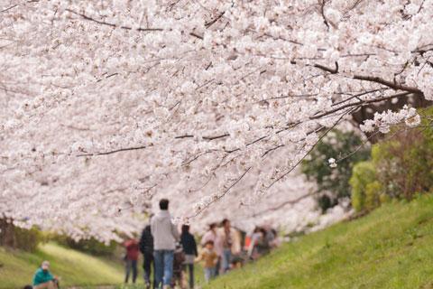 港北区 江川の桜並木。超オススメ桜スポットです(^^) 【フォトアルバムはこちら~♪】