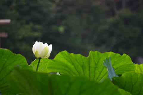 ポツリ,ポツリと咲いています。