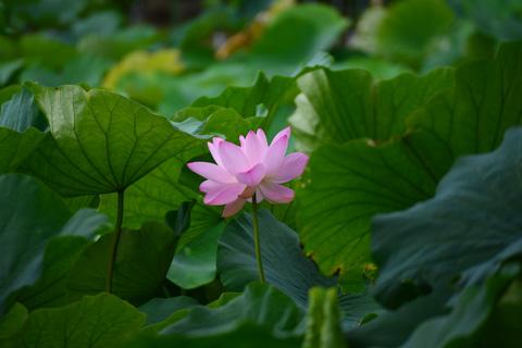 今年は池の浚渫工事でイマイチでしたが,八幡宮のハスは綺麗だなぁ・・・。