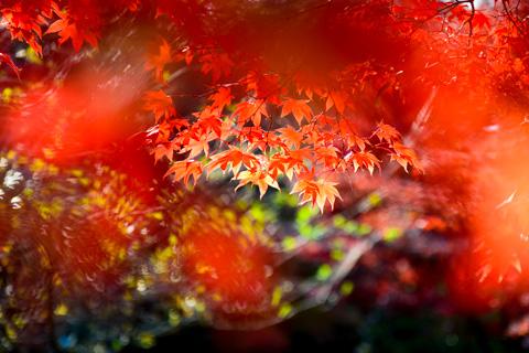 作業翌日の日曜日の鎌倉。もう,紅葉真っ盛りです!