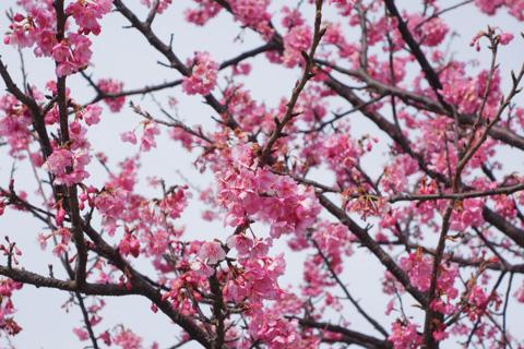数本の桜が咲いていました(^^)