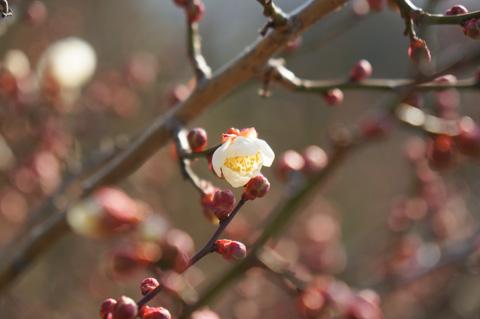 早咲きの梅が咲いていました!(^^)