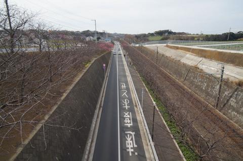 2月になると,京急沿いの川津桜が満開になるそうです。