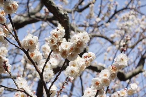 梅も咲いてるし,空は青いし,絶好の梅ポタ日和です。