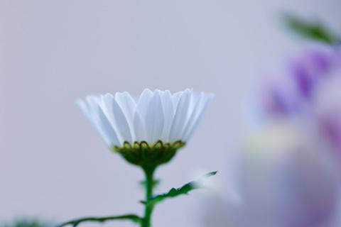 明るい花を寒色で撮るのがお気に入りです(ヒネクレ者?)