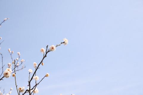 なんとも,ほんわかムードの東慶寺の梅(^^)