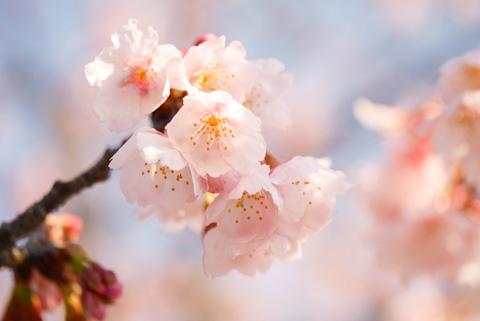 青空に映えるピンクの桜。きれい~(^^)