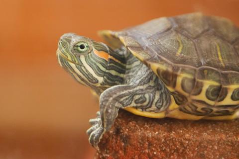 ちょっと澄まし顔の亀吉。国勢調査によると,日本の亀の80%は「亀吉」と名付けられていると推定されます(うそ)