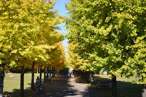 藤沢市民病院のすぐ西隣。小さな公園に銀杏並木があります。