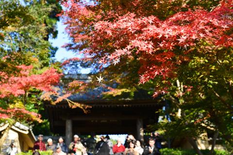 北鎌倉の円覚寺。モミジが真っ赤になっていました。