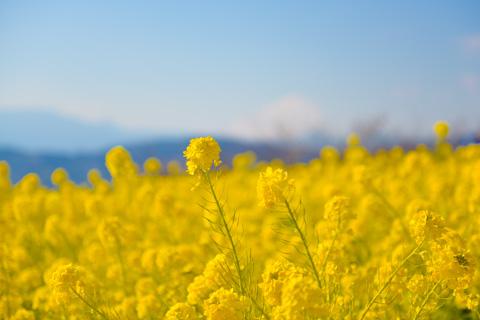 菜の花はまだまだ見頃が続いていました(^^)  【吾妻山菜の花アルバムはこちら~】