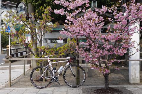 鎌倉宮で一休み。河津桜が咲いてました(^^)