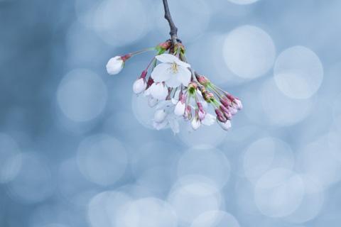 今年のマイ桜は,ブルーがテーマでした(^^)