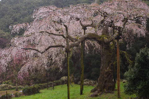 ど~んと構える枝垂桜。でも,ちょっと見頃は過ぎちゃったなぁ・・・(残念)