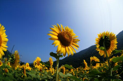 清川村にある「おやじの花畑」。夏はひまわりが満開です(^^)