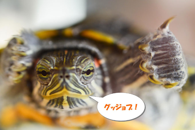 我が家の亀太郎も知性が・・・?(^^)