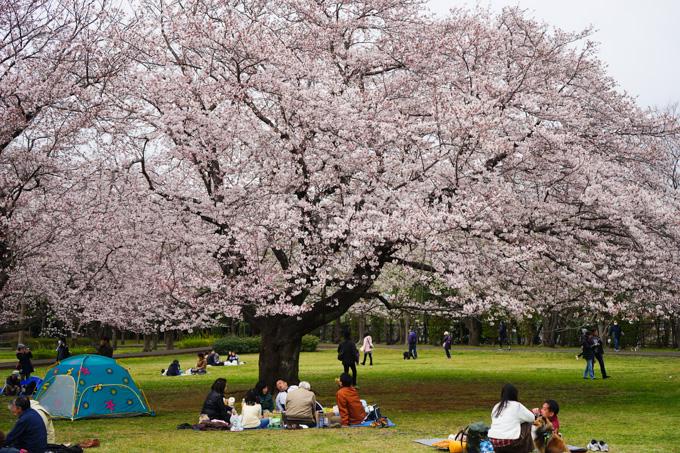 大庭城址公園の桜。みごとな枝ぶりです(!)