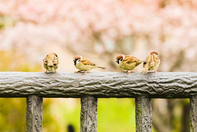引地川CRにもサクラはたくさんあり,小鳥もたくさんいます(^^)
