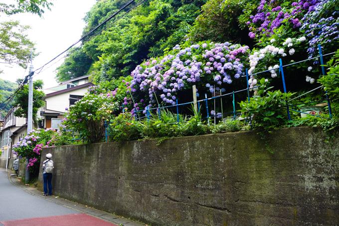極楽寺駅前には,少しだけアジサイが咲いています。