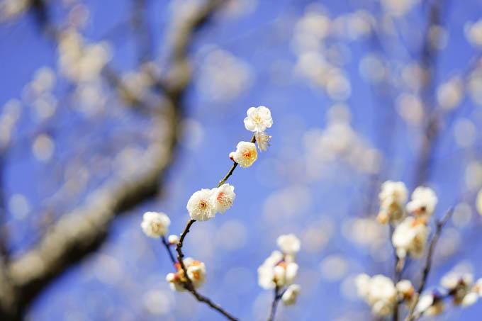 毎年,桜は待ち遠しんだけど,梅は「え,もう来たの?」という感じです。ごめんね(^^)