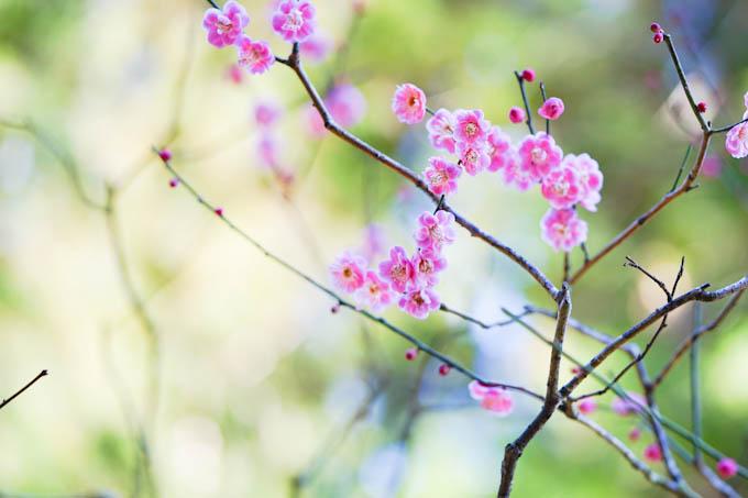 境内にはいろんな種類の梅が咲いています。