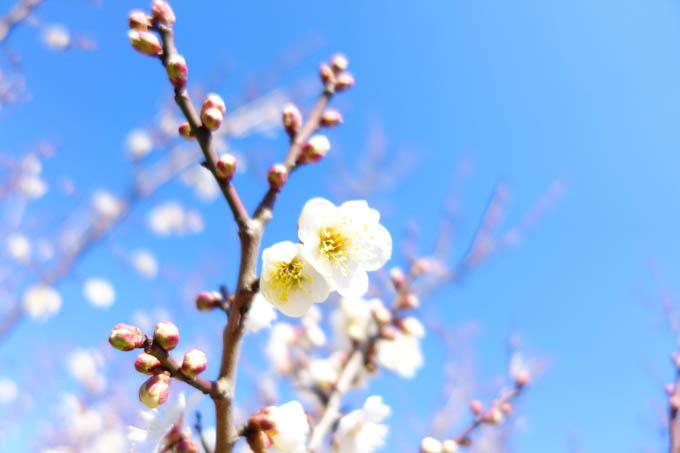 CCCFのコース沿いには,もう梅が咲いていました。春ですなぁ~