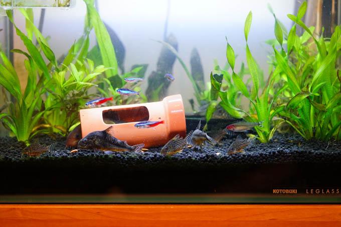 水底を泳いでいる,ゴロンとした魚たちがコリドラス。最近,子供が生まれて激増中・・・。
