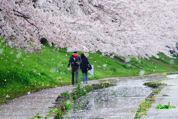 雨と風で舞う桜。もったいない~(^^)  【江川桜アルバムはこちら!】