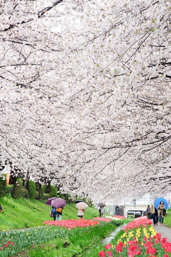 上は桜,下はチューリップと小川。素晴らしいです(^^)