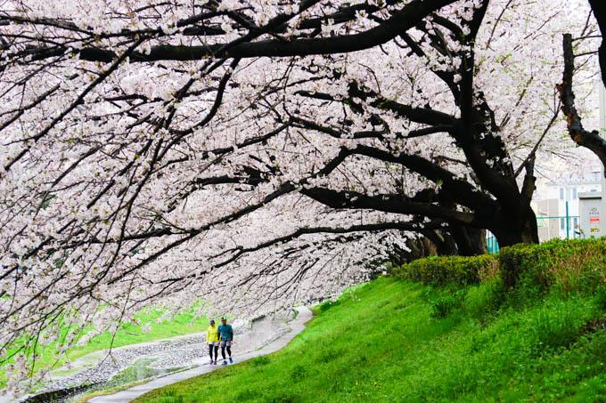 どの桜の木も立派な枝ぶりで,小川にかぶさるように咲いています。