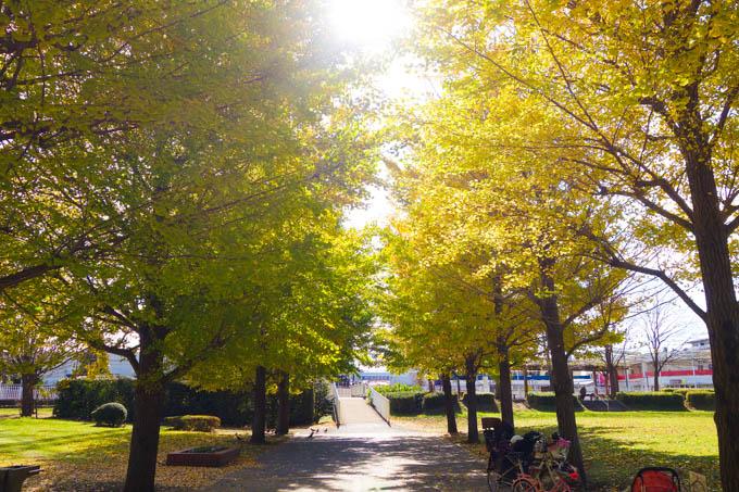 小さいけど、銀杏の密度が高い、見事な公園です(^^)