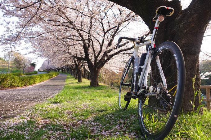 ヤビツに向かう途中の桜並木。今年はあっという間に終わっちゃうなぁ・・・。