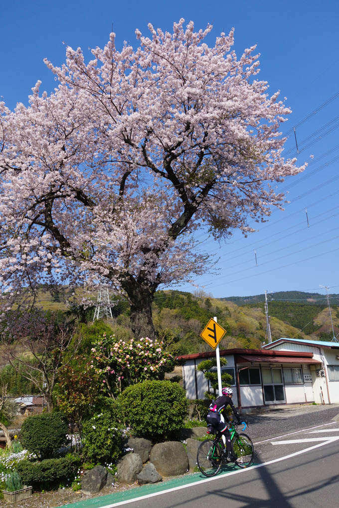 坂で苦しみながら見る桜もいいですね(って、見る余裕ないですが)