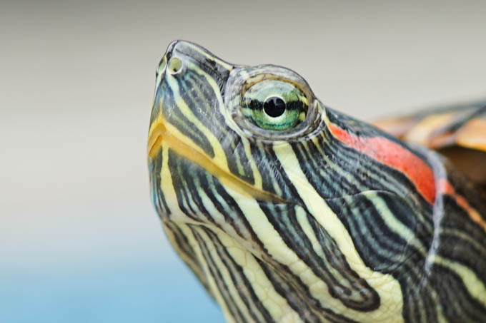 我が家の亀太郎さんの眼。2億年ほど前から、ほぼ進化してないそうですが・・・。