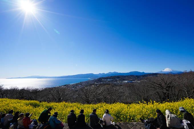 菜の花、富士山、相模湾。絶景です。