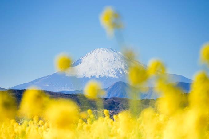 (ワンパターンですが)富士山と菜の花。
