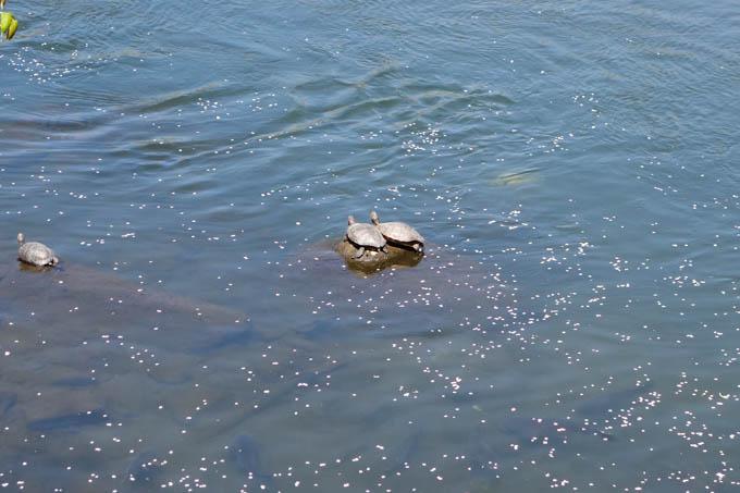 川面にはカメが・・・!
