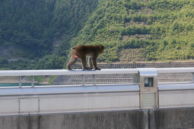 ダムの欄干をサルが!! 向こう側は崖なのに・・・ひぇ~