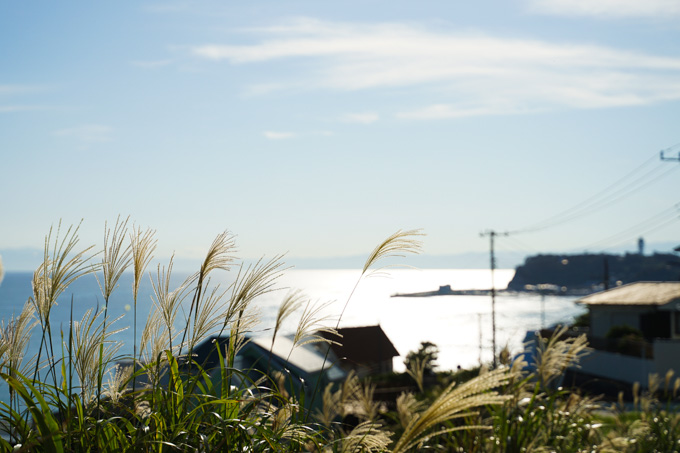 七里ガ浜。ススキがきれいです。