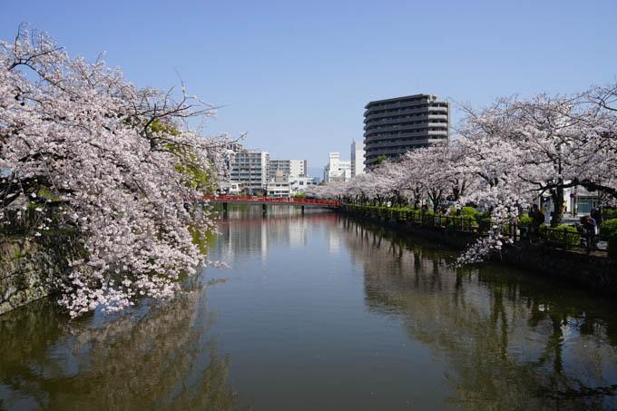 小田原城。桜が満開でした(^^)