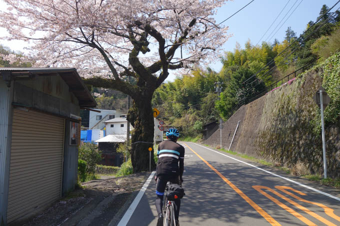 沿道の桜も立派です。