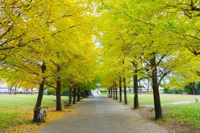 藤沢市民病院の横。ここはイチョウの紅葉がいつも早いです。