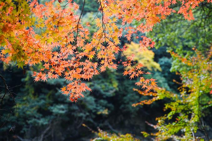 鎌倉よりだいぶ紅葉が早く、モミジも真っ赤でした。