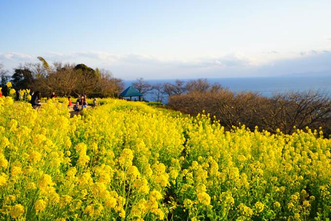 早咲きの菜の花が見頃です。